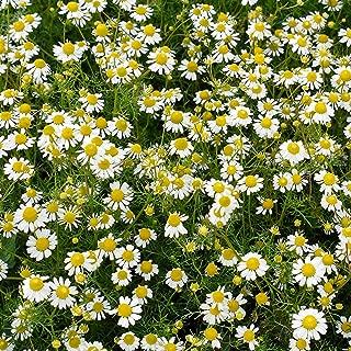 roman chamomile lawn