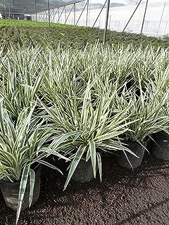 Variegated Flax Lily Aka Dianella T. 'Variegata' Live Plant Grasses Fit 05 Gallon Pot