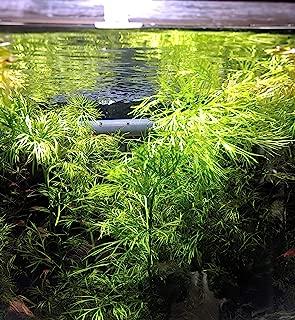 2 Water Sprite, Indian Fern, Water Fern,Ceratopteris thalictroides, Mid Ground Aquarium Plants, Aquatic Plants