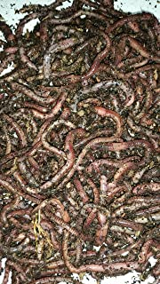 Bestbait.com European Nightcrawlers Composting Worms Fishing Worms 1 lb. Pack