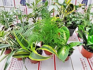 "Terrarium & Fairy Garden Plants - 5 Plants in 4"" Pots Unique-from Jmbamboo"