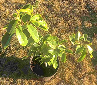 cherimoya tree for sale