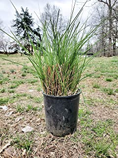 Two #1 Gallon Potted Maiden Grass (Miscanthus sinensis 'Gracillimus') Plant