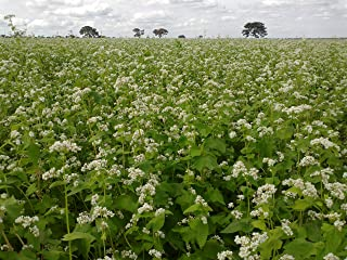 OrOlam Buckwheat Seeds 1 lb Bulk Forage Food Plot Unhulled Cover Crop Whitetail Deer Green Goose Honey Bee Sprouts
