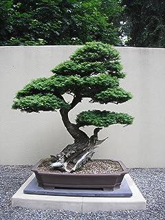 Tsuga Heterophylla ~ Western Hemlock ~ Amazing Bonsai Conifer ~ Rare 20 Seeds ~