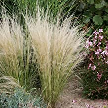 Outsidepride Mexican Feather Ornamental Grass Plant Seed - 2000 Seeds