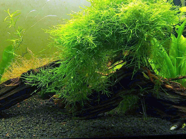 Aquatic Arts Java Elegant Moss Large Portion Square Freshwater 25 Inch Sales