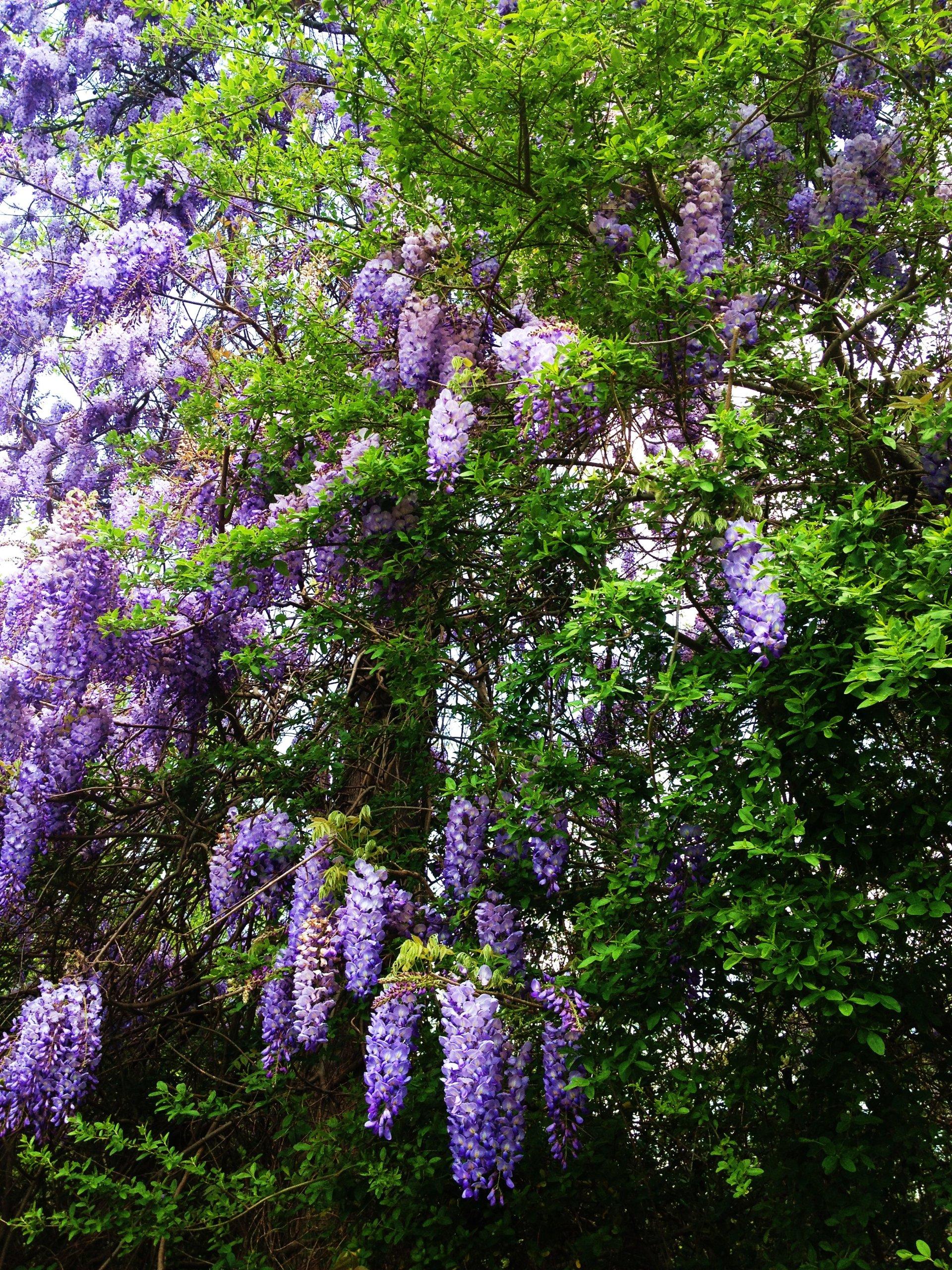 CHINA GLICINIAS Vine -BLUE- difícil de encontrar! 50- Las semillas perennes: Amazon.es: Jardín