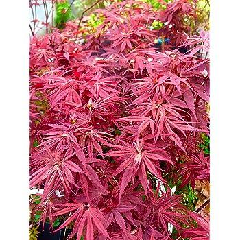 Amazon Com Pixie Dwarf Japanese Maple 2 Year Live Tree Garden Outdoor
