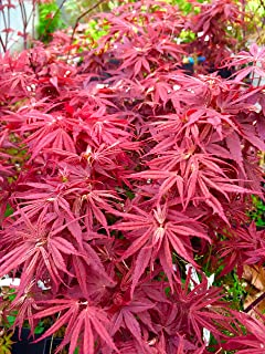 Pixie Dwarf Japanese Maple 2 - Year Live Tree