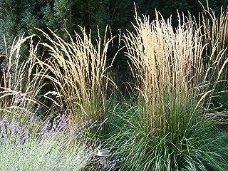 -Kangaroo Plants- Calamagrostis Karl Foerster 6 inch Pot
