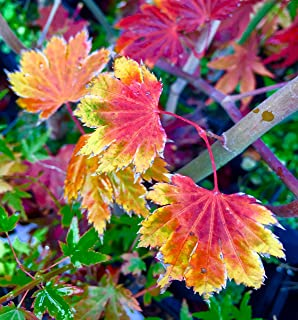 Ever Autumn Japanese Maple 3 - Year Live Plant