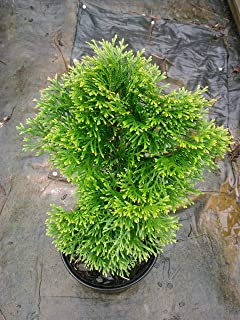 (Liner) Dwarf Emerald Green Arborvitae- Evergreen, Very Cold Hardy, Great for Colder Zones, Liner Size Plant Shipped in Plastic Bag or 3