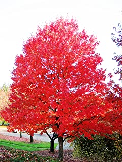 Red Maple Tree - Live Plants Shipped 2 Feet Tall by DAS Farms (No California)