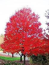 Red Maple Tree - Live Plants Shipped 2 Feet Tall by DAS Farms (No California)
