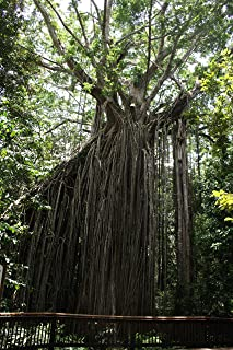 HOT - Ficus virens Hardy Banyan Unique Tree Exotic Seeds