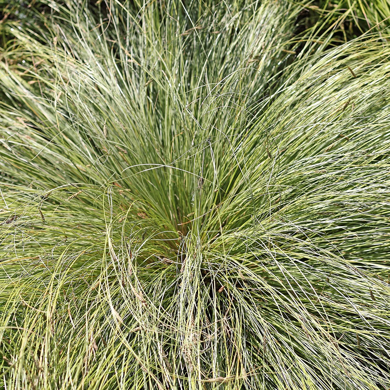 Outsidepride Carex Limited time cheap sale Comans Frosted Curls Seed Ornamental Fees free - Grass