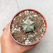 Bishop's Cap Cactus Astrophytum Myriostigma (4 inch)