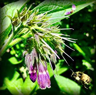 Russian Comfrey Bocking-14 Cultivar, 12 Cuttings for Growing Your Own Medicinal Salve, Compost Tea & Animal Fodder