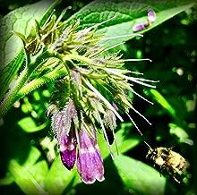 Russian Comfrey Bocking-14 Cultivar, 12 Cuttings for Growing Your Own Medicinal Salve, Compost Tea & Animal Fodder