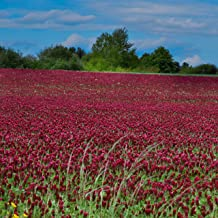 Outsidepride Crimson Clover Seed: Nitro-Coated, Inoculated - 5 LBS