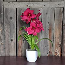 Grow Your Own Indoor Amaryllis Bulb Gift Kit | Pink Amaryllis Vera Flower Bulb in a Classic White Vase - Ships from Easy to Grow