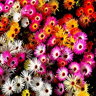 Outsidepride Ice Plant Ground Cover Flower Seed Mix - 5000 Seeds