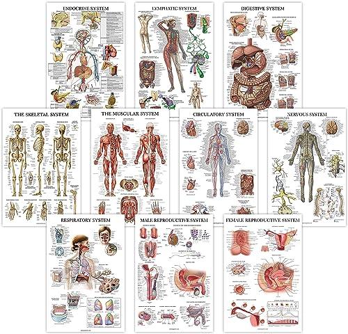 10 Pack - Anatomical Poster Set - Laminated - Muscular, Skeletal, Digestive, Respiratory, Circulatory, Endocrine, Lym...