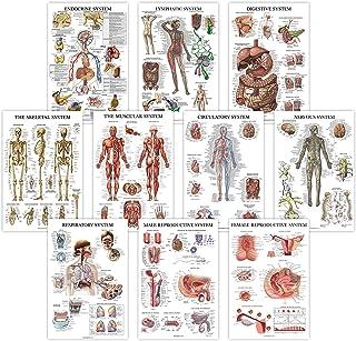 10 Pack - Anatomical Poster Set - Laminated - Muscular, Skeletal, Digestive, Respiratory, Circulatory, Endocrine, Lymphati...