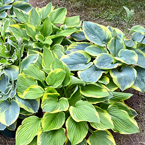 Hosta Bare Roots Mixed Varieties Plantain Lilies Perennial Plants