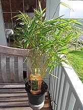 Fargesia Rufa/Chinese Fountain Bamboo 1-2ft Tall in a 2L Pot