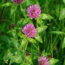 Outsidepride Red Clover Seed: Nitro-Coated, Inoculated - 10 LBS