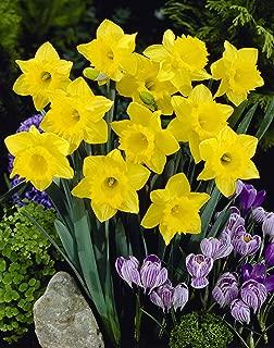 Trumpet Daffodil Mixture- 45 Perennial Yellow Daffodil Bulbs