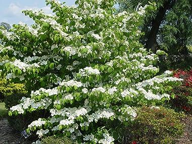 Viburnum p. t. 'Summer Snowflake' (Doublefile Viburnum) Shrub, white flowers, #2 - Size Container