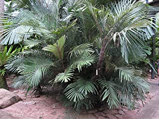 cold hardy coconut palm