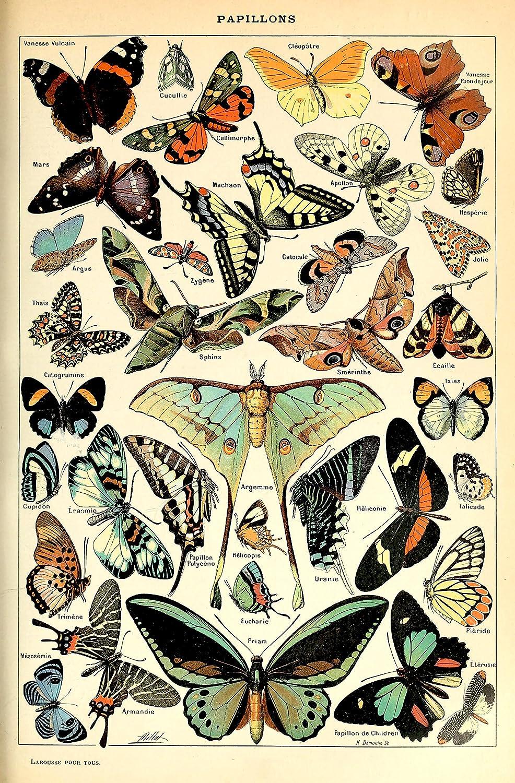 Vintage Victorian Butterfly Specimen Poster Canvas Picture Art Print Premium Quality A0 A1 A2 A3 A4 New Best Cheap (A0 Canvas (30 40))