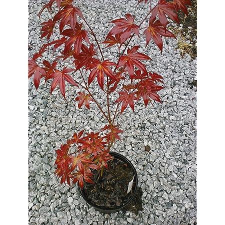 Forro Sango Kaku Arce Japonés Corteza Roja Brillante Corteza De Coral Una Verdadera Belleza Barurn Coral Rojo Brillante Belleza Durante Todo El Año Con Una Amplia Gama De Colores De Hoja