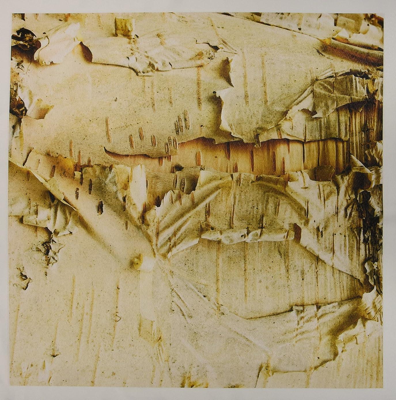 3dRose qs_95398_7 Paper Birch Tree, Washington Arboretum, Seattle-US48 DGU0233-Darrell Gulin-Quilt Square, 18 by 18-Inch