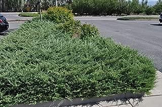 Live Bar Harbor Juniper aka Juniperus horiz. 'Bar Harbor' Plant Fit 1 Gallon Pot