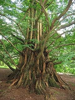 50 Semillas de Acacia concinna Asklepios-seeds/®