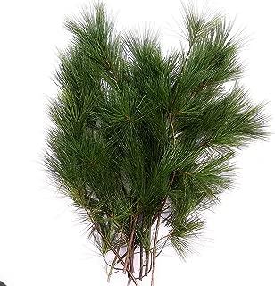 fresh pine boughs