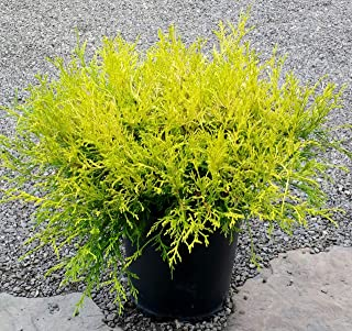 Gold Mop Cypress - 2 Gallon Size, Dwarf Yellow Evergreen for Small Areas