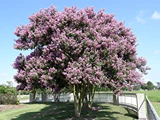Large Muskogee Crape Myrtle, 3-4ft Tall When Shipped, Matures 22-25ft, 1 Tree, Beautiful Blue Lavender (Shipped Well Rooted in Pots with Soil)