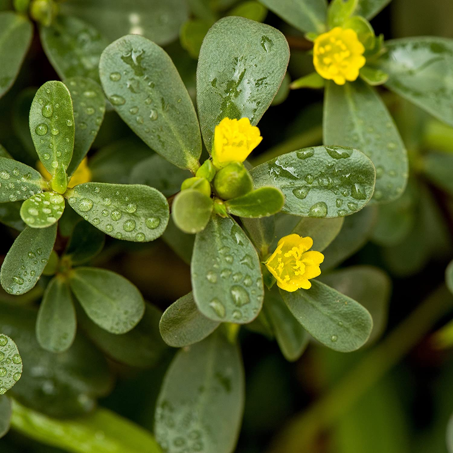 Outsidepride Purslane Plant Flower Seeds Factory outlet - Kansas City Mall 5000 Seed