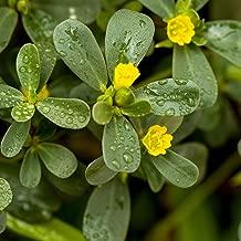 Outsidepride Purslane Plant Flower Seed - 5000 Seeds