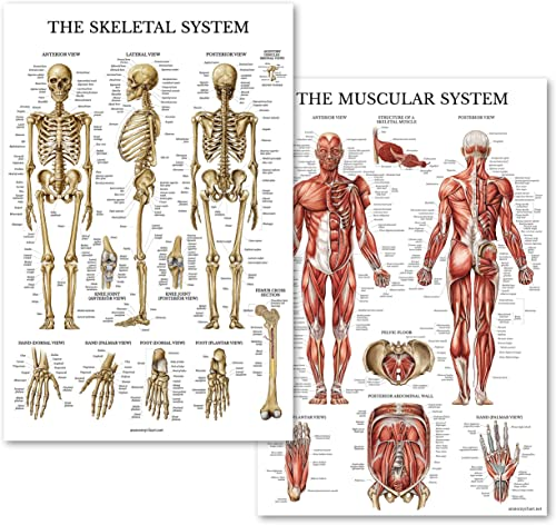 Palace Learning Muscular & Skeletal System Anatomical Poster Set - Laminated 2 Chart Set - Human Skeleton & Muscle An...
