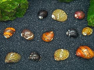 Aquatic Arts 5 Live B-Grade Nerite Snails | Algae Cleaner | Aquarium Background Accessories | Safe in Freshwater Tetra/Guppy/Betta Fish Tank