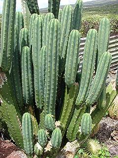 Asklepios-seeds® - 100 Semillas trichocereus pachanoi Cactu
