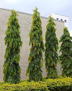 SOW PERFECT Semillas Creativa Farmer árbol Polyalthia Longifolia Plantas de jardín para el hogar Semillas Semillas Paquete...