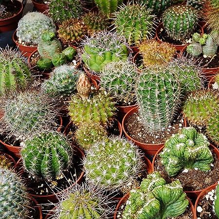 100pcs// Bag Mixed Succulents Seeds Indoor Plants House Decorating Cacti /& Succulents